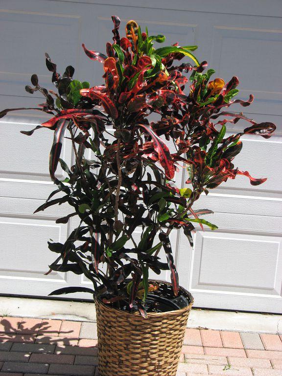 Large Croton